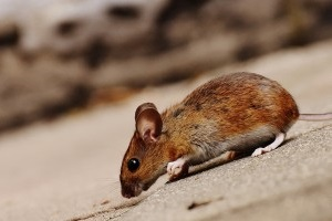 Mice Exterminator, Pest Control in Northolt, UB5. Call Now 020 8166 9746
