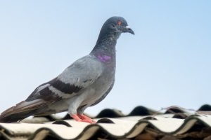 Pigeon Pest, Pest Control in Northolt, UB5. Call Now 020 8166 9746
