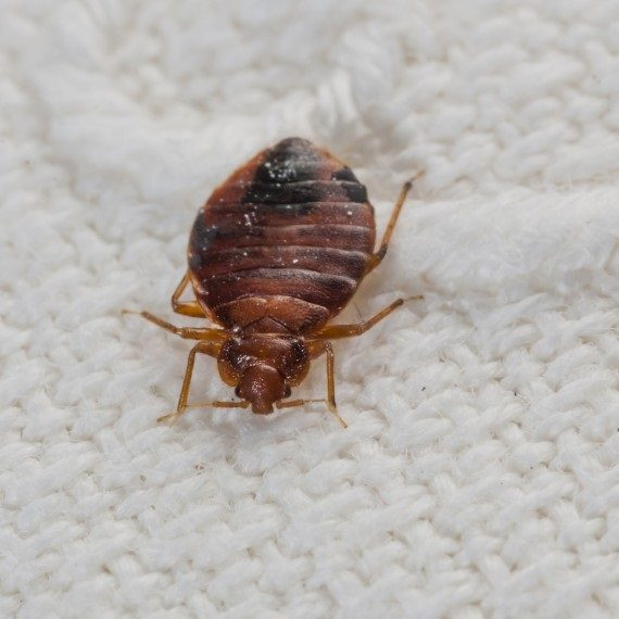 Bed Bugs, Pest Control in Northolt, UB5. Call Now! 020 8166 9746