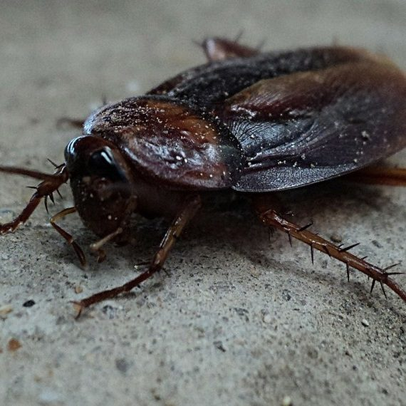 Cockroaches, Pest Control in Northolt, UB5. Call Now! 020 8166 9746