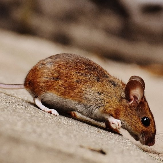 Mice, Pest Control in Northolt, UB5. Call Now! 020 8166 9746