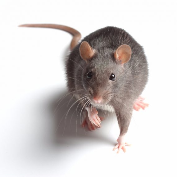 Rats, Pest Control in Northolt, UB5. Call Now! 020 8166 9746